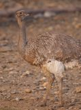 Lesser or Darwin's Rhea Royalty Free Stock Photo