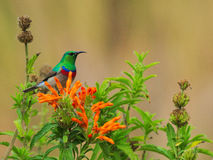 Lesser Double-collared Sunbird Stock Images