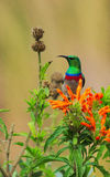 Lesser Double-collared Sunbird Portrait Royalty Free Stock Photography