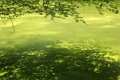 Lesser duckweed with branches of beech tree Royalty Free Stock Images