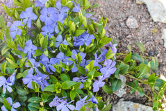 Lesser or dwarf periwinkle Vinca minor Royalty Free Stock Photos