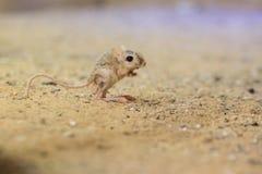 Lesser egipski jerboa fotografia stock