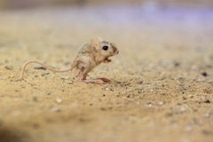 Lesser egyptian jerboa Stock Photography