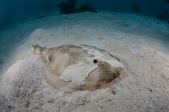 Lesser Electric Ray in Caribbean Sea. A Lesser Electric ray (Narcine bancroftii) lays on sand in shallow water off the coast of Belize in the Caribbean Sea. This Stock Photo