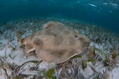 Lesser Electric Ray Royalty Free Stock Photo