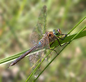 Lesser Emperor. Dragonfly on a straw royalty free stock photography