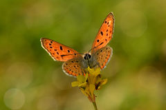Lesser fiery copper butterfly stock images