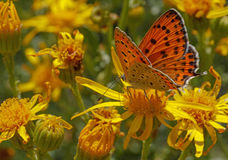 Lesser Fiery Copper butterfly Royalty Free Stock Photos