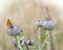 Lesser fiery copper (Lycaena thersamon) Stock Image
