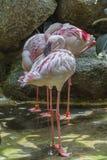 Lesser flaminga ptak Obrazy Royalty Free