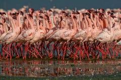 Lesser flamingi Fotografia Royalty Free