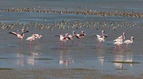 Lesser flamingi Zdjęcie Stock