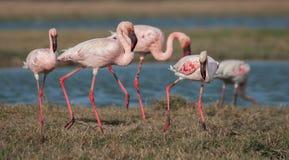 Lesser flamingi Zdjęcie Royalty Free