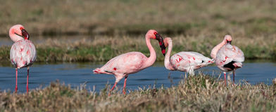 Lesser flamingi Fotografia Stock