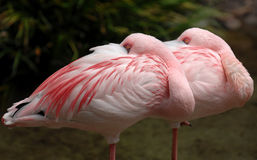 Lesser flamingo 005 Stock Image