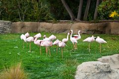 Lesser Flamingo Stock Image