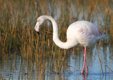 Lesser Flamingo Stock Photo