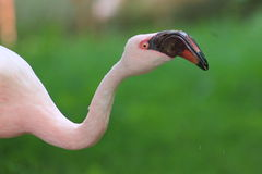 Lesser flamingo Stock Images