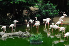 Lesser Flamingo Royalty Free Stock Photos