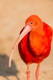 Lesser Flamingo Photographie stock libre de droits