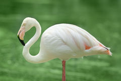 Lesser flamingo bird Royalty Free Stock Image