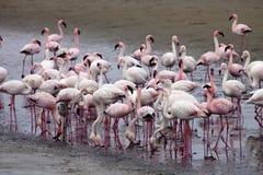 Lesser flamingo colony and Rosa Flamingo in Walvisbaai, Namibia Royalty Free Stock Photos