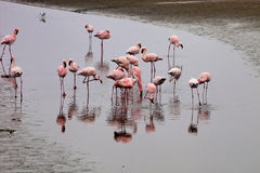 Lesser flamingo colony and Rosa Flamingo in Walvisbaai, Namibia Stock Photos