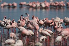 Lesser Flamingo Feeding Stock Images