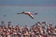 Lesser flamingo. In flight at Nakuru N.P Stock Image