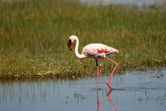 Lesser Flamingo on Lake Nakuru Royalty Free Stock Images