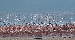 Lesser Flamingo, menor del phoenicopterus, agrupa en vuelo, colonia en el lago Bogoria en Kenia, metrajes