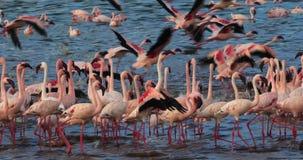 Lesser Flamingo, menor del phoenicopterus, colonia en el lago Bogoria en Kenia, metrajes