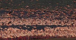 Lesser Flamingo, menor do phoenicopterus, agrupa em voo, colônia no lago Bogoria em Kenya, filme