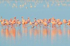 Lesser Flamingo, mineur de Phoeniconaias, volée d'oiseau rose dans l'eau bleue Scène de faune de nature sauvage Bande de flamants photographie stock libre de droits