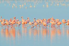 Lesser Flamingo, minore di Phoeniconaias, stormo dell'uccello rosa nell'acqua blu Scena della fauna selvatica dalla natura selvag fotografia stock libera da diritti