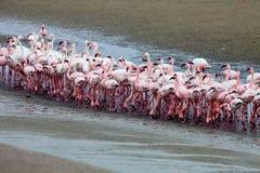Lesser flamingo och Rosy Flamingo, Walvis fjärd, Namibia Arkivfoto