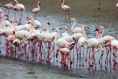 Lesser flamingo, Phoeniconaias aminor, Rosy Flamingo, Phoenicopterus ruber ruber,  Walvis Bay, Namibia Royalty Free Stock Photo