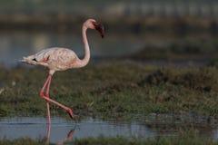 Lesser Flamingo Phoenicoparrus minor walking in bedi port. royalty free stock photos