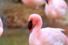 Lesser Flamingo Royalty Free Stock Photos