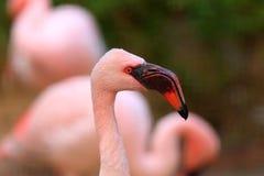 Lesser Flamingo Stock Photography
