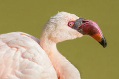 Lesser Flamingo. A lesser flamingo portrait posing in the sun Royalty Free Stock Images