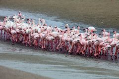 Lesser flamingo and Rosy Flamingo, Walvis Bay, Namibia Stock Photo