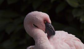 Lesser flamingo Royalty Free Stock Photo