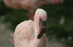 Lesser flamingo royalty free stock images