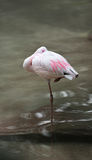 Lesser Flamingo Stands in Water Royalty Free Stock Images