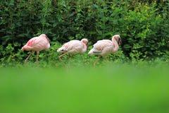 Lesser flamingo Royalty Free Stock Image