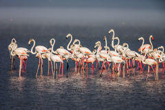 The Lesser flamingo, which is the main attraction for tourists at Lake Nakuru Royalty Free Stock Image