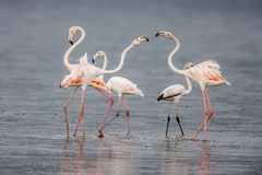 The Lesser flamingo, which is the main attraction for tourists at Lake Nakuru Royalty Free Stock Images