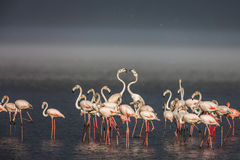 The Lesser flamingo, which is the main attraction for tourists at Lake Nakuru Stock Photo