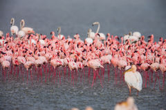 The Lesser flamingo, which is the main attraction for tourists at Lake Nakuru Royalty Free Stock Photos